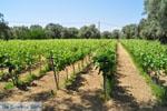 Wijngaarden tussen Lefkandi en Eretria | Evia Griekenland ) De Griekse Gids  - foto 006 - Foto van De Griekse Gids