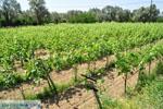 Wijngaarden tussen Lefkandi en Eretria | Evia Griekenland ) De Griekse Gids  - foto 007 - Foto van De Griekse Gids
