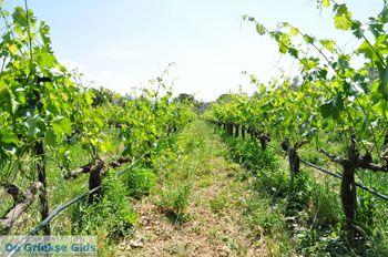 Wijngaarden tussen Lefkandi und Eretria | Evia Griechenland ) GriechenlandWeb.de  - foto 003 - Foto von GriechenlandWeb.de