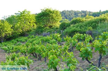 Agia Anna Noord-Evia Druivengaarden | Griekenland 5 - Foto van De Griekse Gids