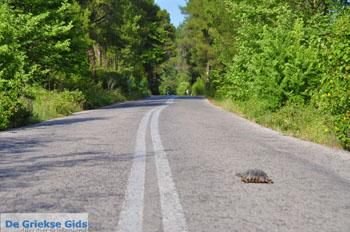 GriechenlandWeb.de Schildpad over de weg in Noord-Evia | Griechenland | GriechenlandWeb.de - Foto GriechenlandWeb.de