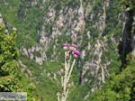 Vlinder auf bloem Vikos kloof foto 2 - Zagori Epirus - Foto GriechenlandWeb.de