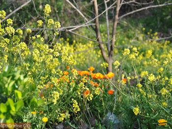De mooie bloemen van Evia - Foto van https://www.grieksegids.nl/fotos/grieksegidsinfo-fotos/albums/userpics/10001/normal_natuur-noord-evia-7.jpg