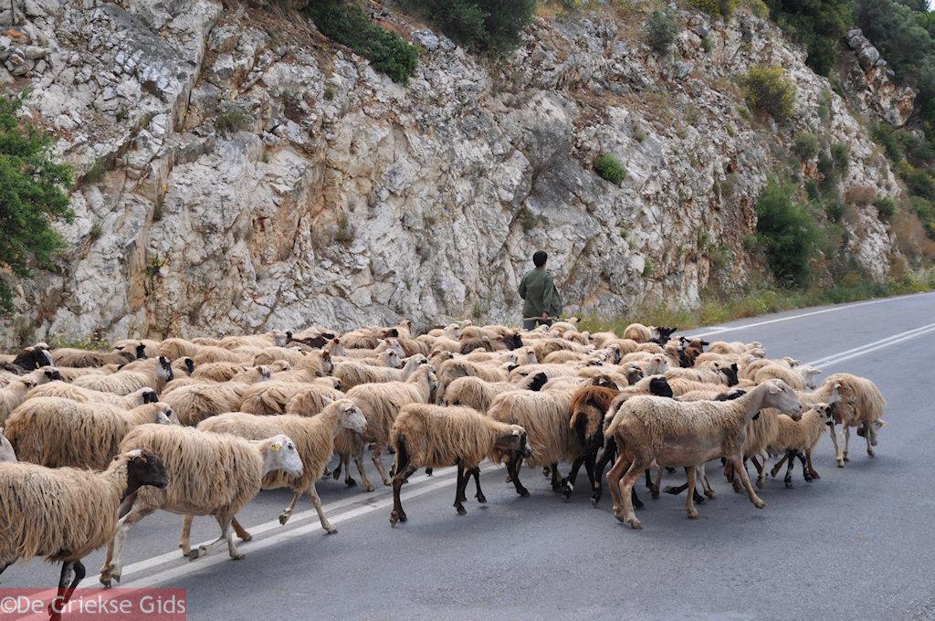 foto Schapen op de weg tussen Perama en Anogia