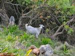 Wild geitje bij Eleftherna - Foto van De Griekse Gids