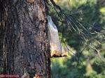 GriechenlandWeb.de Het verzamelen van hars in Noord Evia | Rovies und Aedipsos - Foto GriechenlandWeb.de