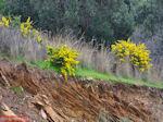 Gele bloemen zuid Evia (bij Marmari Evia) - Foto van De Griekse Gids