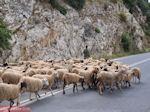 GriechenlandWeb.de Schapen auf de weg tussen Perama und Anogia - Foto GriechenlandWeb.de
