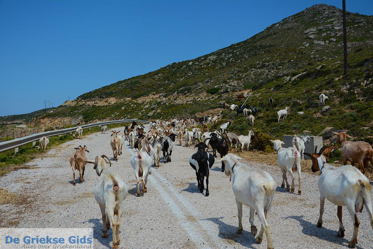 foto Geiten bij Agia Theodoti Ios - Psathi Ios - Cycladen foto 289
