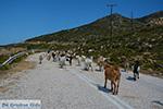 Geiten bij Agia Theodoti Ios - Psathi Ios - Cycladen foto 288 - Foto van De Griekse Gids