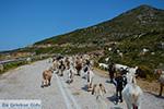 Geiten bij Agia Theodoti Ios - Psathi Ios - Cycladen foto 290 - Foto van De Griekse Gids