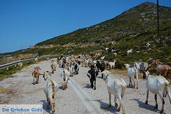 Geiten bij Agia Theodoti Ios - Psathi Ios - Cycladen foto 289 - Foto van https://www.grieksegids.nl/fotos/ios/normaal/eiland-ios-289.jpg