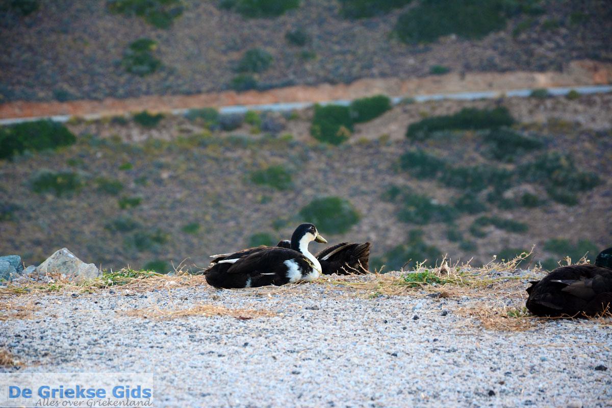foto Eend bij Panagia Kastriani ten oosten van Otzias   Kea (Tzia) foto 28