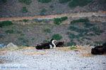 Eend bij Panagia Kastriani ten oosten van Otzias | Kea (Tzia) foto 28 - Foto van De Griekse Gids