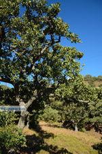 Pera Meria | Overal eikenbomen | Kea (Tzia) foto 2 - Foto van De Griekse Gids