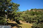 Pera Meria | Overal eikenbomen | Kea (Tzia) foto 3 - Foto van De Griekse Gids