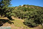 Pera Meria | Overal eikenbomen | Kea (Tzia) foto 4 - Foto van De Griekse Gids