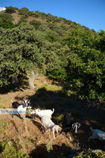 Pera Meria | Overal eikenbomen | Kea (Tzia) foto 5 - Foto van De Griekse Gids
