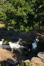 Pera Meria | Overal eikenbomen | Kea (Tzia) foto 7 - Foto van De Griekse Gids
