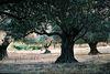 Olijfbomen op Skyros - Foto van Peter Voerman