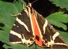 Closeup van een vlinder uit de vlindervallei van Rhodos - Foto van