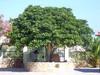 """de mooie boom op """"lofos"""" Chersonissos - Foto van"""