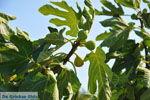 Vijgenboom | Vori Kreta | Foto 1 - Foto van De Griekse Gids