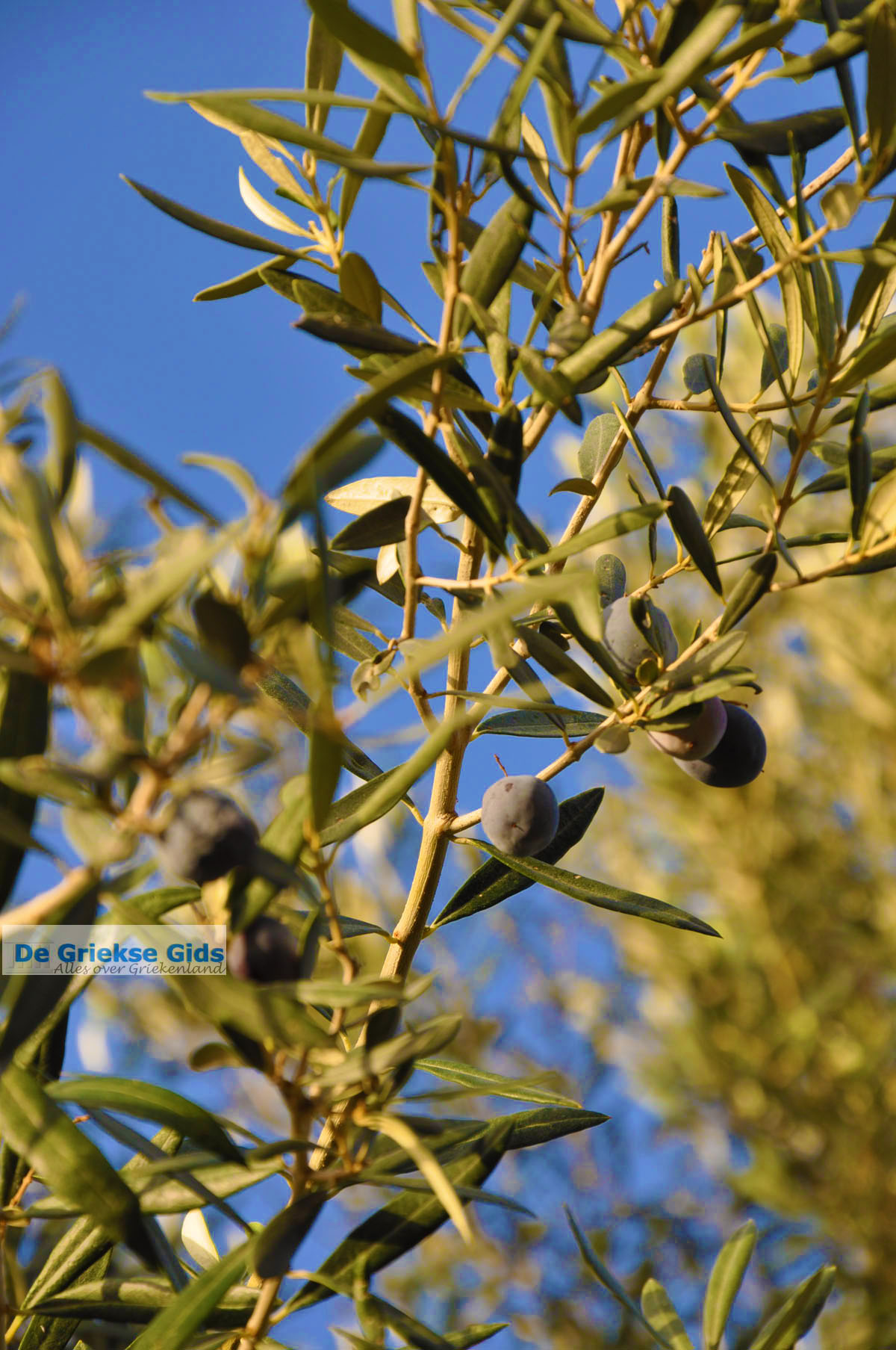 foto Olijfbomen bij Molyvos | Lesbos Griekenland | Foto 3