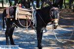 Ezel bij Sykaminia | Lesbos | De Griekse Gids 1 - Foto van De Griekse Gids