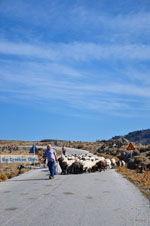 Schapen en schaapherders bij Sigri | Lesbos Grikenland | Foto 3 - Foto van De Griekse Gids