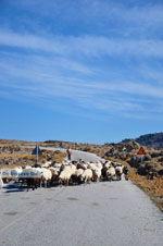 Schapen en schaapherders bij Sigri   Lesbos Grikenland   Foto 4 - Foto van De Griekse Gids
