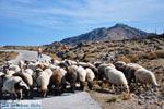 Schapen en schaapherders bij Sigri | Lesbos Grikenland | Foto 6