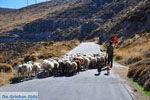 Schapen en schaapherders bij Sigri | Lesbos Grikenland | Foto 7