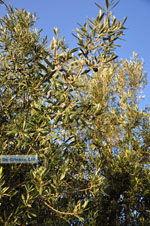 Olijfbomen bij Molyvos | Lesbos Griekenland | Foto 1