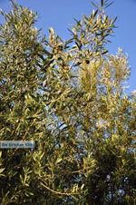 Olijfbomen bij Molyvos | Lesbos Griekenland | Foto 2 - Foto van De Griekse Gids