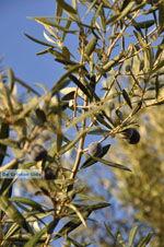 Olijfbomen bij Molyvos | Lesbos Griekenland | Foto 3 - Foto van De Griekse Gids