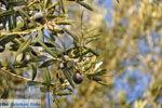 Olijfbomen bij Molyvos | Lesbos Griekenland | Foto 4 - Foto van De Griekse Gids