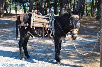 Ezel bij Sykaminia | Lesbos | De Griekse Gids 2 - Foto van https://www.grieksegids.nl/fotos/lesbos/normaal/lesbos-griekenland-652.jpg