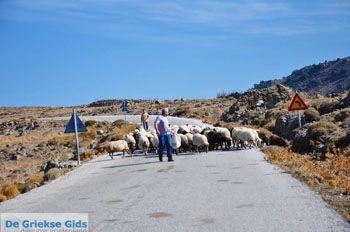 Schapen en schaapherders bij Sigri | Lesbos Grikenland | Foto 1 - Foto van https://www.grieksegids.nl/fotos/lesbos/normaal/lesbos-griekenland-765.jpg