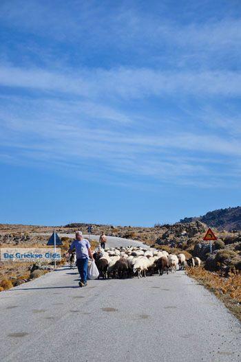 Schapen en schaapherders bij Sigri | Lesbos Grikenland | Foto 3 - Foto van https://www.grieksegids.nl/fotos/lesbos/normaal/lesbos-griekenland-767.jpg