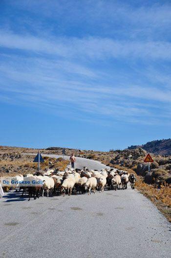 Schapen en schaapherders bij Sigri | Lesbos Grikenland | Foto 4 - Foto van https://www.grieksegids.nl/fotos/lesbos/normaal/lesbos-griekenland-768.jpg