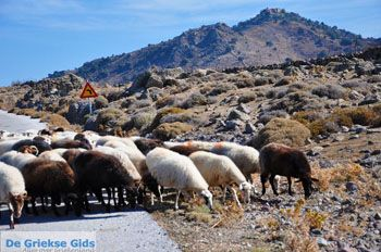 Schapen en schaapherders bij Sigri | Lesbos Grikenland | Foto 5 - Foto van https://www.grieksegids.nl/fotos/lesbos/normaal/lesbos-griekenland-769.jpg