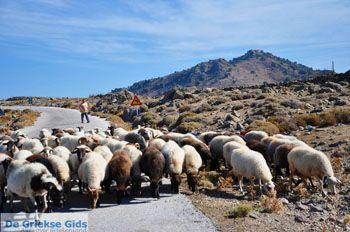 Schapen en schaapherders bij Sigri | Lesbos Grikenland | Foto 6 - Foto van https://www.grieksegids.nl/fotos/lesbos/normaal/lesbos-griekenland-770.jpg