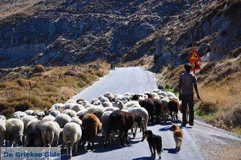 Schapen en schaapherders bij Sigri | Lesbos Grikenland | Foto 8 - Foto van https://www.grieksegids.nl/fotos/lesbos/normaal/lesbos-griekenland-799.jpg