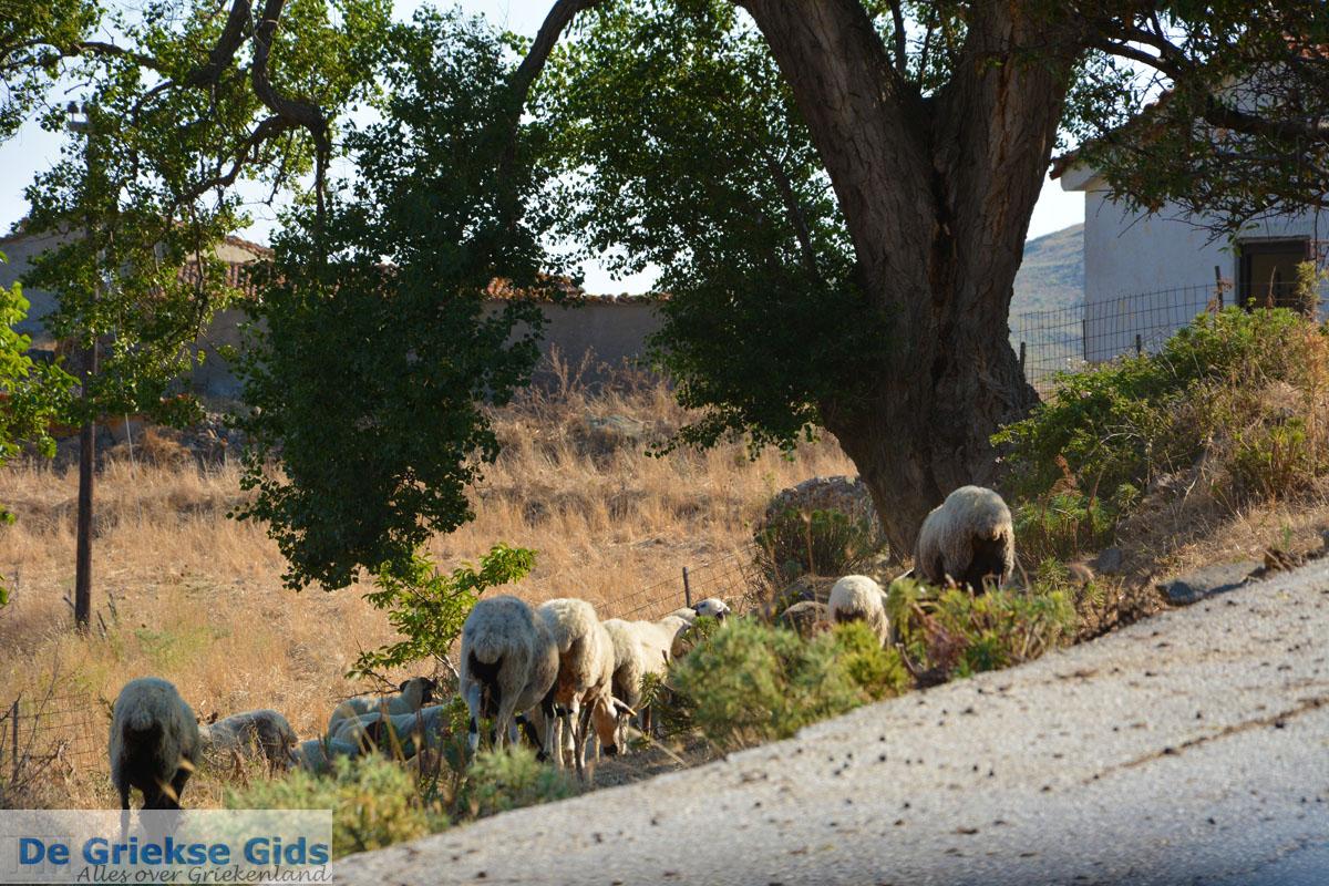 foto Bij Gomati en woestijn Amothines Katalakos Limnos (Lemnos) foto 40