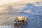 Schildpad bij Kranidi | Argolis Peloponessos | Foto 1 - Foto van De Griekse Gids