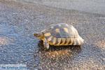 Schildpad bij Kranidi | Argolis Peloponessos | Foto 2 - Foto van De Griekse Gids