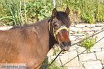 GriechenlandWeb Paard in Aspous | Skyros Griechenland - Foto GriechenlandWeb.de