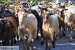 Geiten op Skyros | Skyros Griekenland foto 2 - Foto van De Griekse Gids