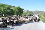 Geiten op Skyros | Skyros Griekenland foto 3 - Foto van De Griekse Gids